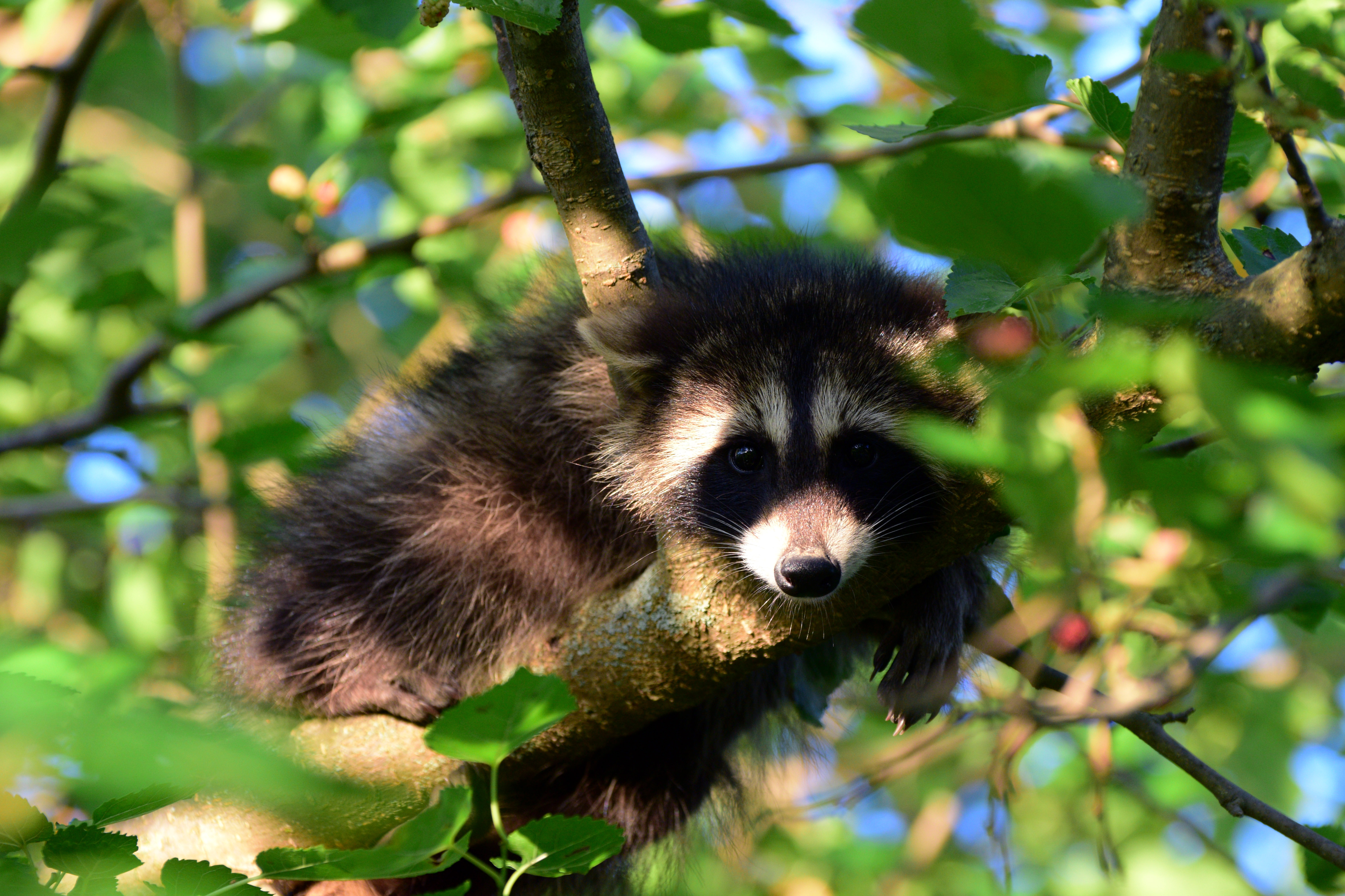 We have a family of raccoons in our mulberry tree this year!