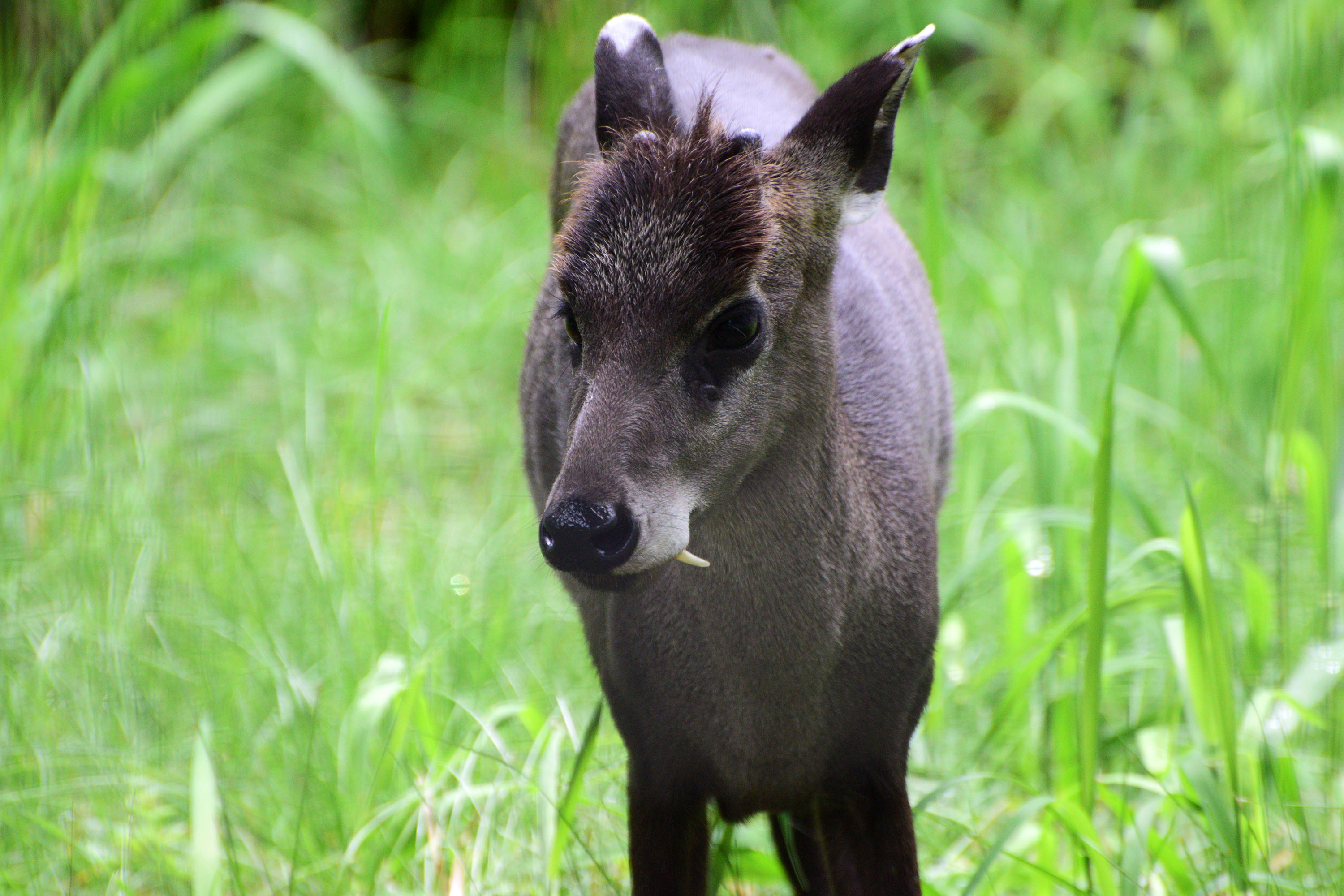 Tufted deer at the Potter Park Zoo