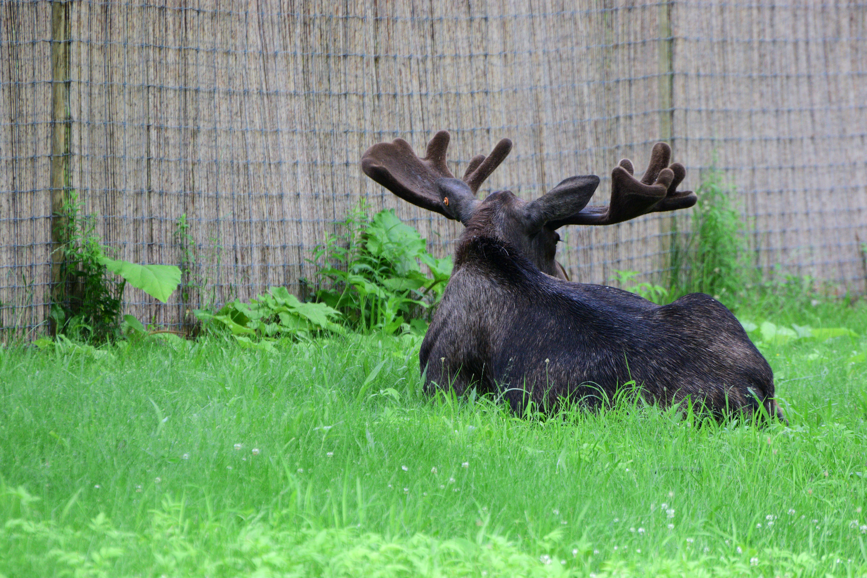 Moose at the Potter Park Zoo