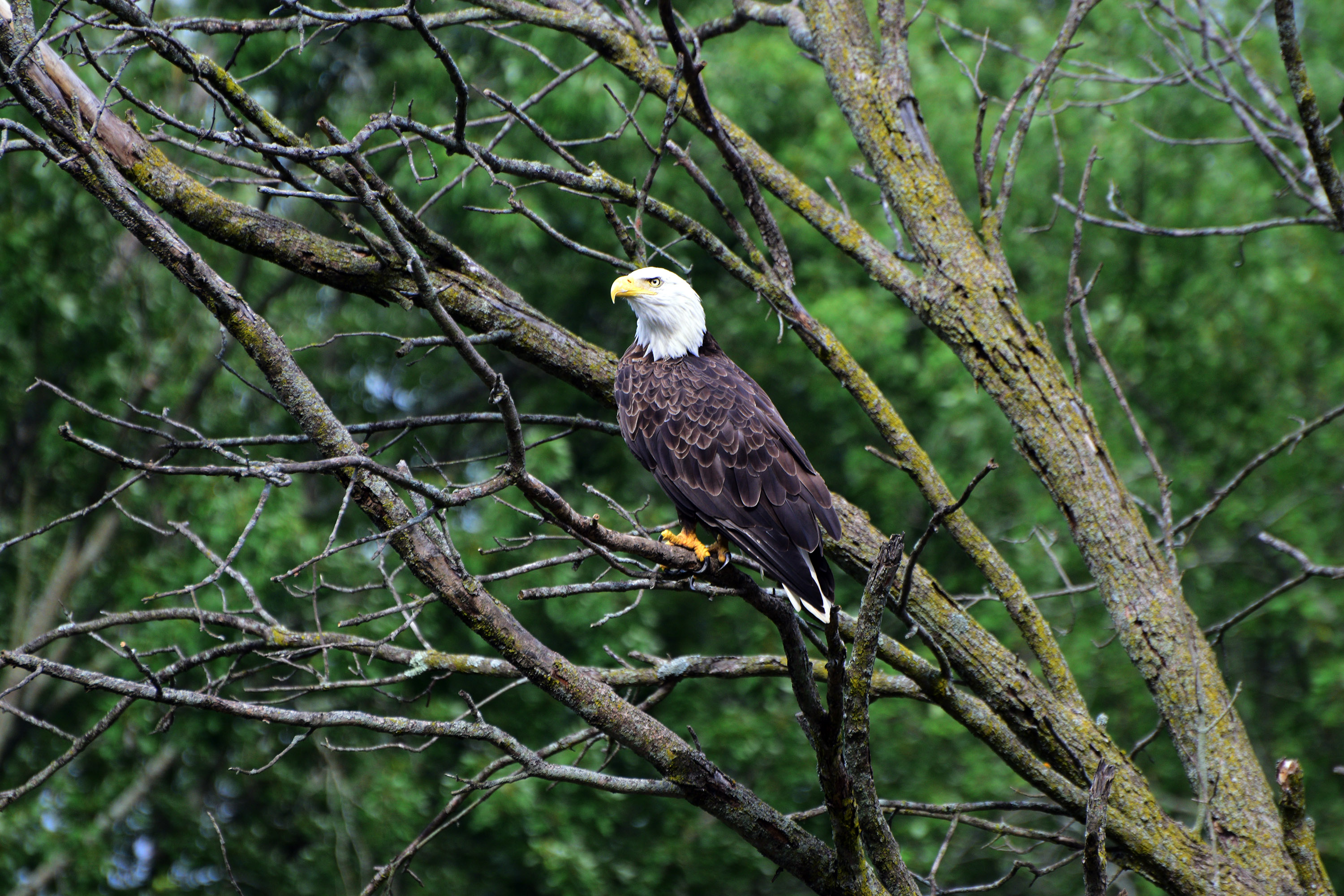 Bald eagle spotted in the Shiawassee National Wildlife Refuge