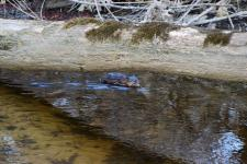 A muskrat (or a groundhog?) in a creek I saw while biking