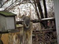 A squirrel foraging in our yard