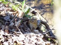 A chipmunk near the water's edge in Ringwood Forest
