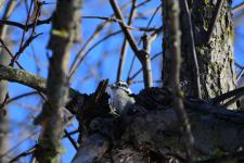 A downy woodpecker in our apple tree