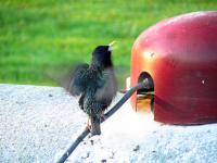 A european starling near the entrance of its nest in the top of a propane tank