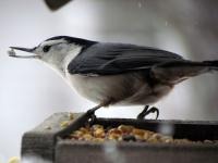 A nuthatch with some seeds in its beak