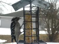 A female downy woodpecker eating suet