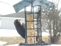A european (or common) starling checking out my suet
