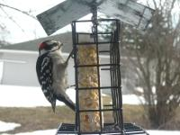 Male downy woodpecker at my suet feeder
