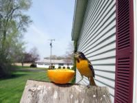 A baltimore oriole eating from an orange half