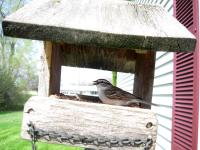 A chipping sparrow at my feeder eating a seed