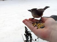 Feeding a tufted titmouse from my hand by sticking it out a partially open window