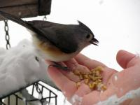 Jane hand-feeding a tufted titmouse. Its little tongue is cute!