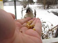 Jane hand-feeding a tufted titmouse