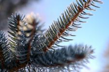 Close-up of a pine tree after freezing fog