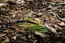 Pine needles on a woodchip path in Ringwood Forest