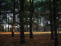 A thicket of pine trees I saw on my bike ride