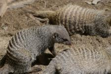 Banded mongoose at the Potter Park Zoo