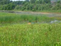 A doe in a flooded field. Two fawns were behind her, hidden in the tall grass. (Shiawassee National Wildlife Preserve)