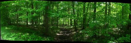 Panorama of a path through the woods